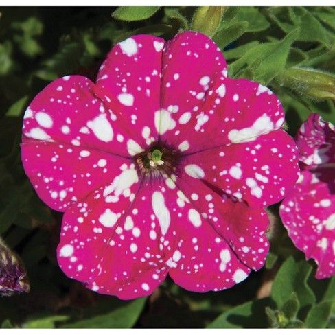 3pc PinkSky Petunia Plant with Pink/White Blooms - National Plant Network - image 1 of 3