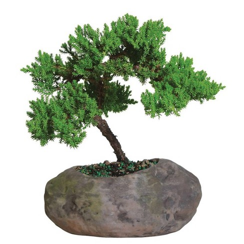 Mound Over Rock Live Houseplant Green - Brussel's Bonsai - image 1 of 1