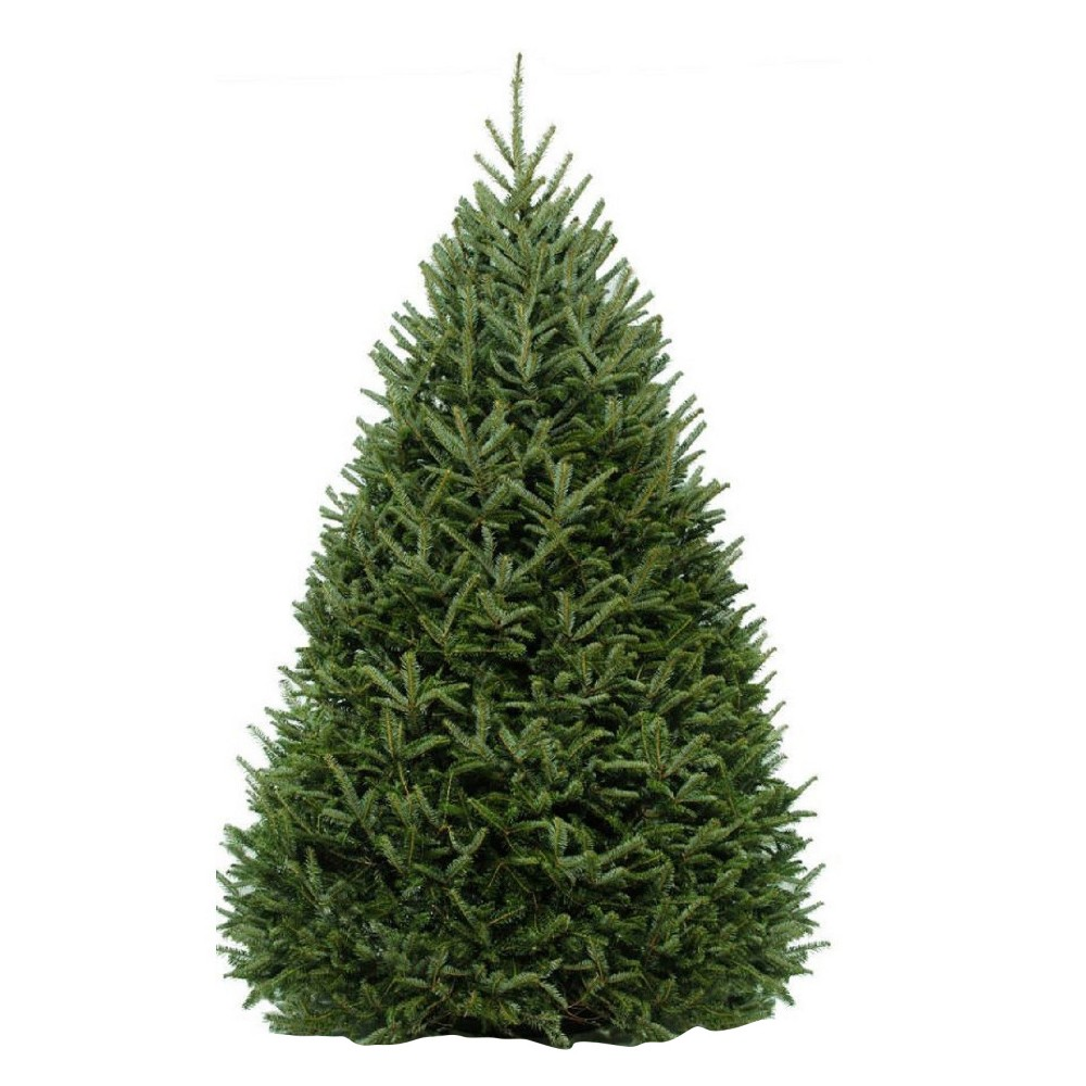 6' to 7' Live Fresh Cut Fraser Fir Christmas Tree - Cottage Hill