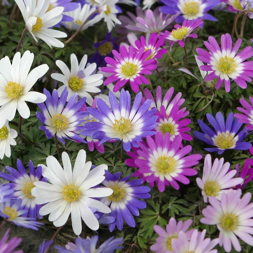 Wind Flowers Anemone Blanda Mixed Set of 25 Bulbs - Van Zyverden