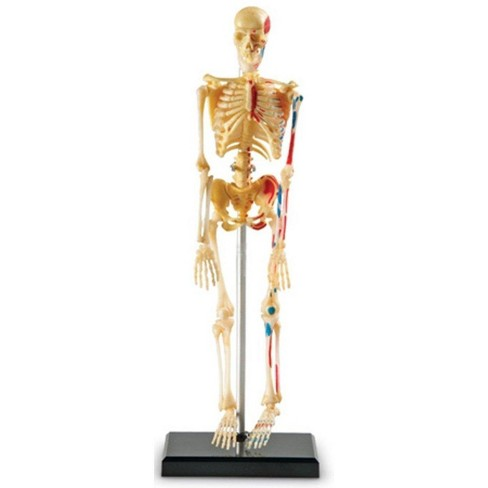 Learning Resources Skeleton Anatomy Model, Ages 8+ - image 1 of 4