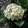 2.5qt Wedding Gown Hydrangea with White Blooms - National Plant Network - image 2 of 2