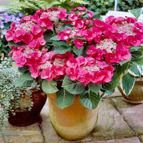 2.5qt Cherry Explosion Hydrangea with Red Blooms - National Plant Network - image 1 of 3