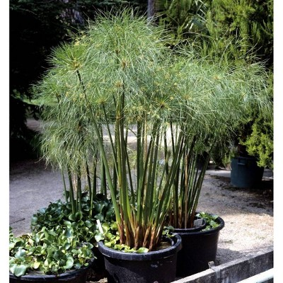 Cyperus Papyrus Giant Egypt - National Plant Network