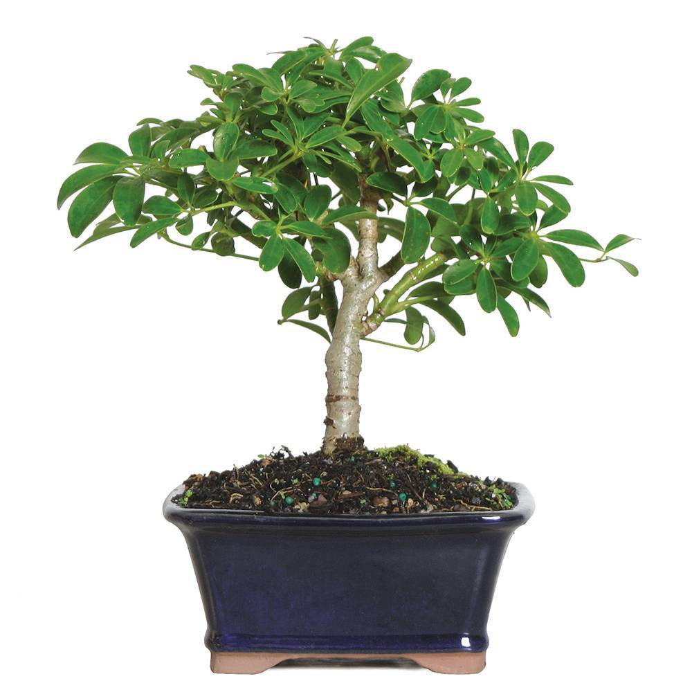 Image of Small Hawaiian Umbrella Indoor Live Houseplant - Brussel's Bonsai