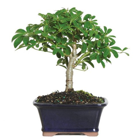 Plants Seeds Bulbs 3 Years Old 8 To 10 Tall Brussels Bonsai Live Dwarf Jade Indoor Bonsai Tree In Zen Reflections Pot Patio Lawn Garden Perfactgroup Com