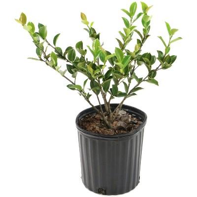 2.5qt Camellia Sasanqua Plant with White Blooms - National Plant Network