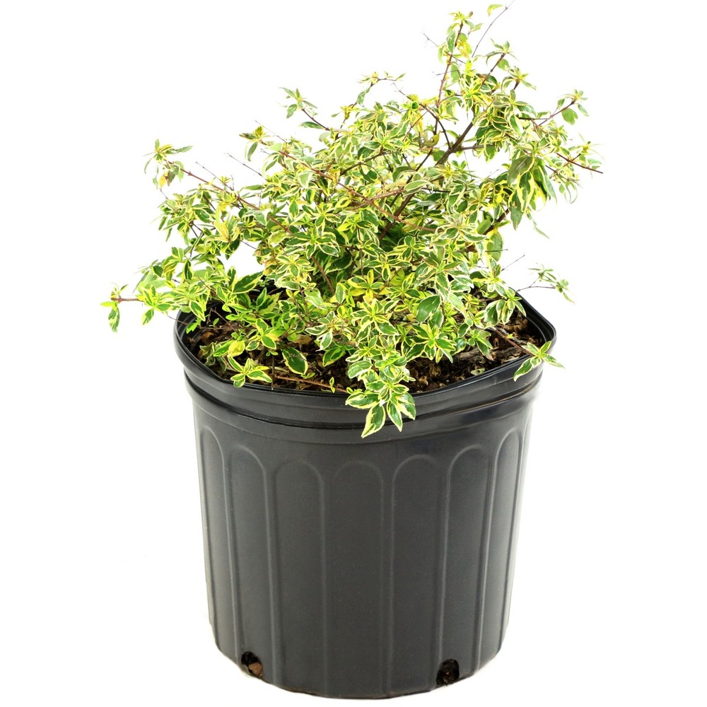 Image of Abelia 'Hopley's' 1pc U.S.D.A. Hardiness Zones 6-10 Cottage Hill 3gal, Size: 3 Gallon