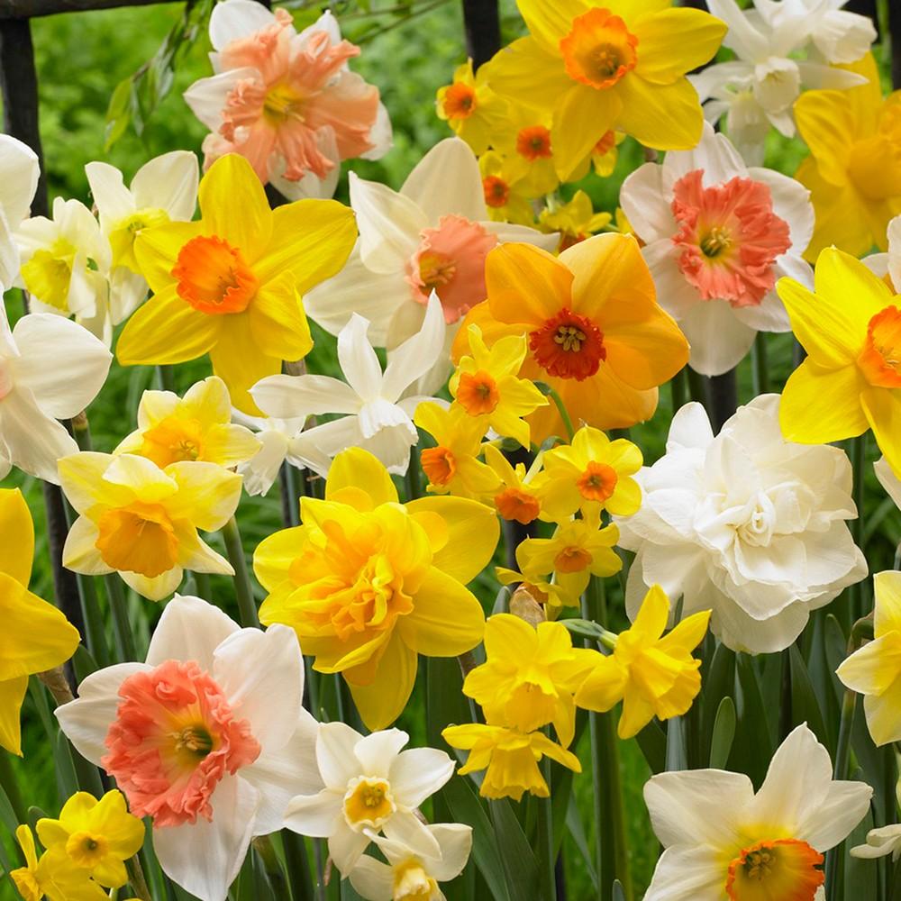 Daffodils Kitchen Sink Mixture Set of 15 Bulbs - Van Zyverden
