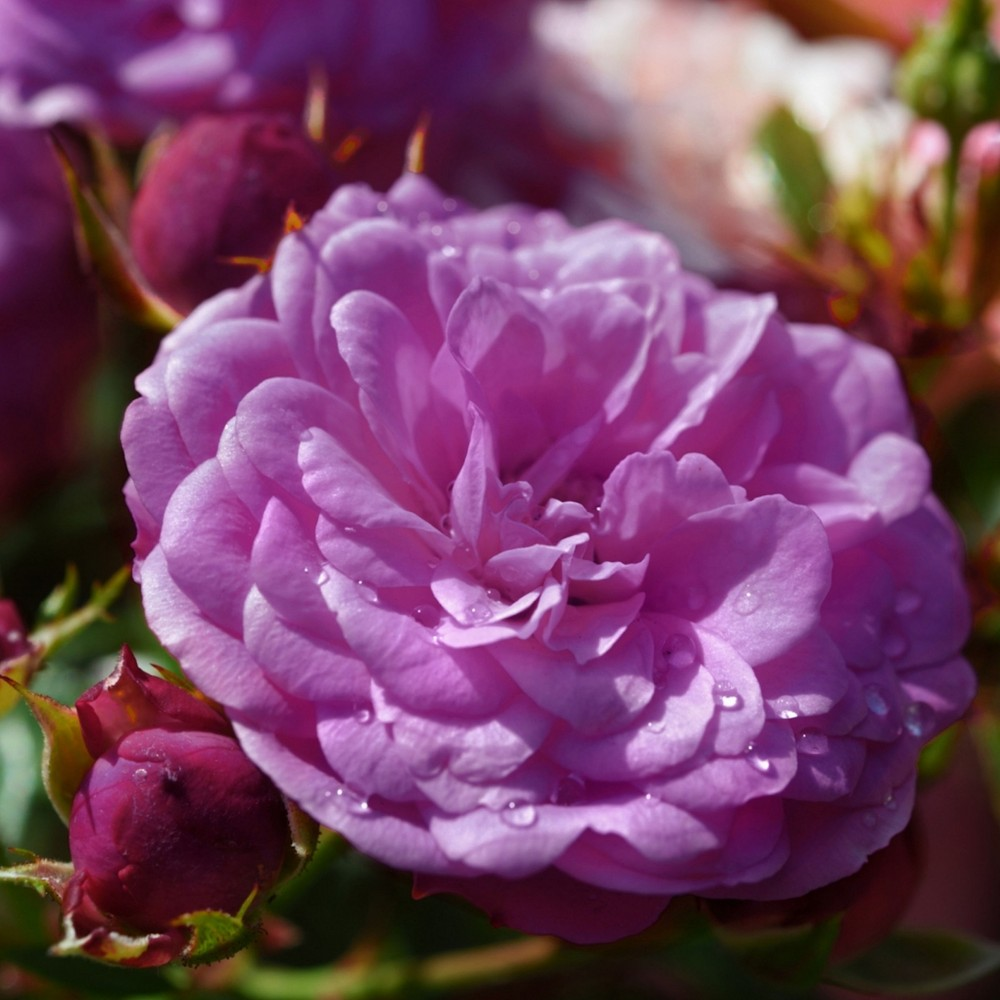 Image of 2pc Climbing Rose Angel Face - Cottage Hill