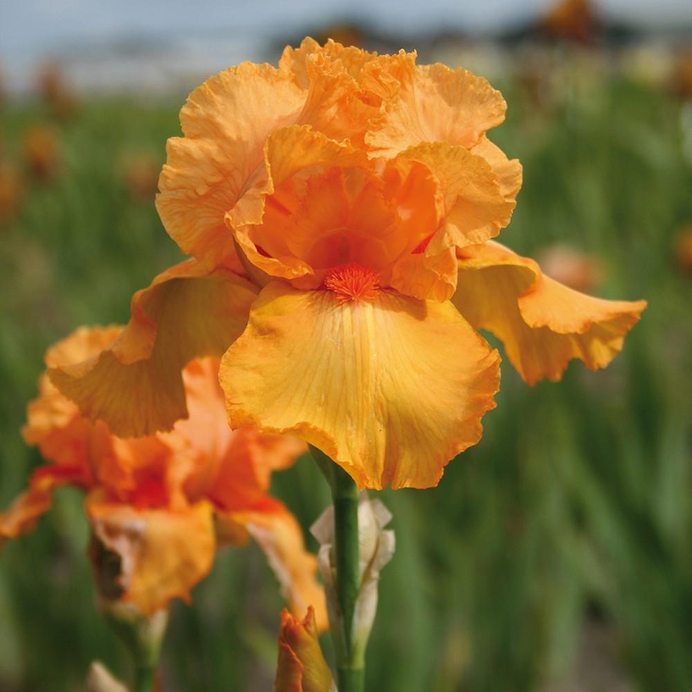Bearded Iris Firebreather Set of 3 Roots - Orange - Van Zyverden