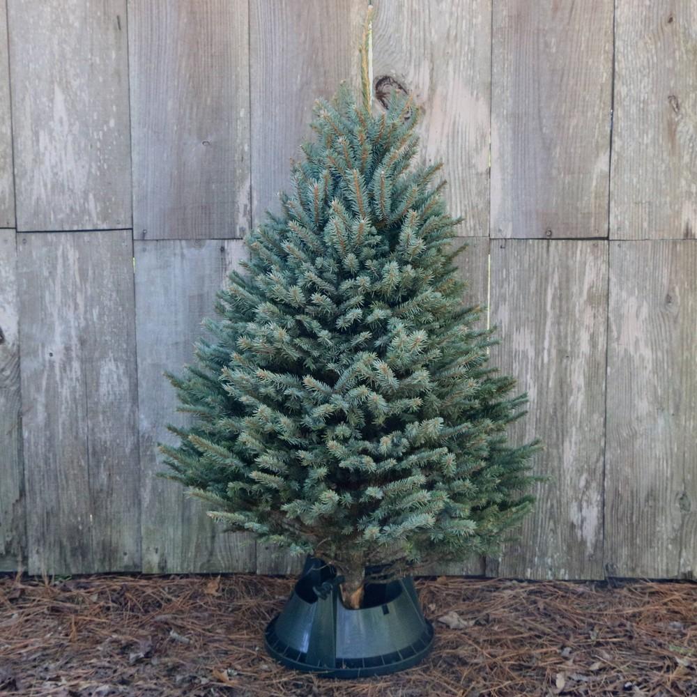 Image of Live Blue Spruce Fresh Cut Christmas Tree - Cottage Hill Nursery
