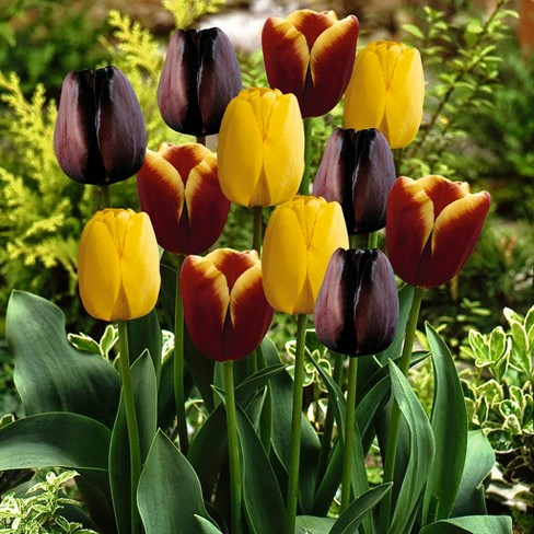 Tulips Gavota Blend Set of 15 bulbs - Black/Yellow/Burgundy - Van Zyverden - image 1 of 4