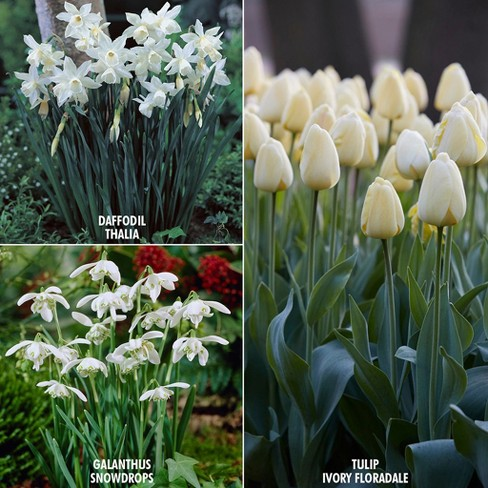 Color Your Garden Collection Set of 49 Bulbs - White - Van Zyverden - image 1 of 4