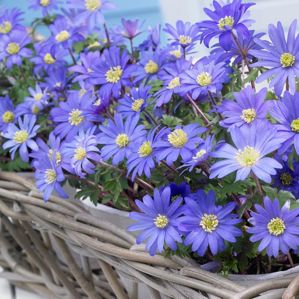 Wind Flowers Anemone Set of 25 Bulbs - Blue - Van Zyverden