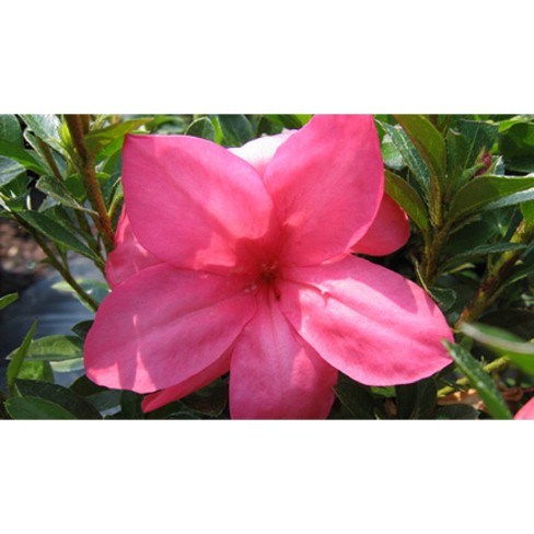2.25gal Macrantha Pink Azalea Plant with Pink Blooms - National Plant Network - image 1 of 2