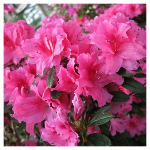 Floramore Azalea 'Pink' 1pc - Cottage Hill - U.S.D.A. Hardiness Zones 7 - 9 - image 1 of 3