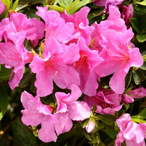 Azalea 'Pride of Mobile' 2.5qt U.S.D.A. Hardiness Zones 7-10 - 1pc - National Plant Network - image 1 of 3