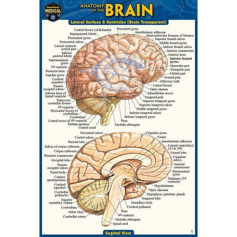 Anatomy of the Brain (Pocket-Sized Edition - 4x6 Inches) - 2nd Edition by  Vincent Perez (Poster) - image 1 of 1
