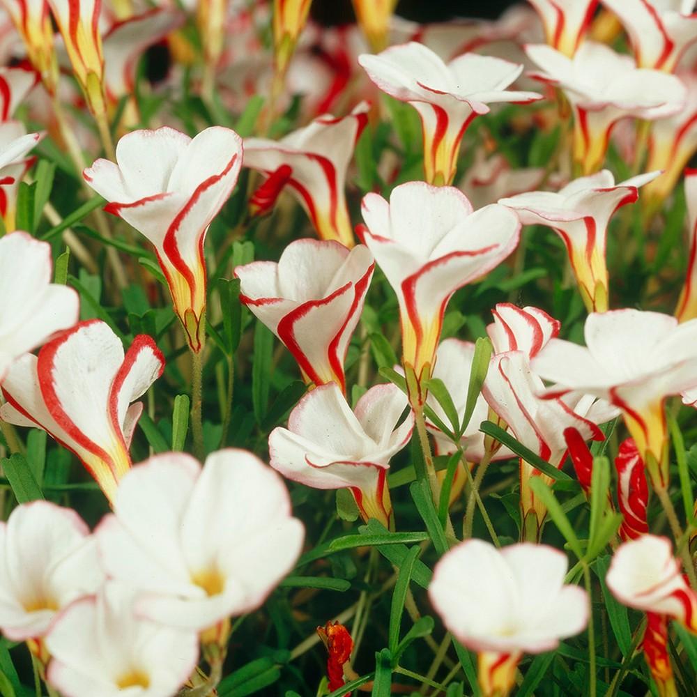 Oxalis Versicolor Set of 10 Bulbs - White/Red - Van Zyverden