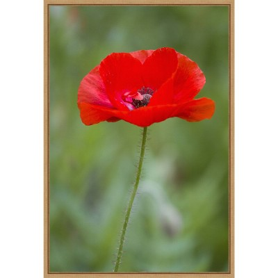 """16"""" x 23"""" Poppy Flower by Richard and Susan Day Danita Delimont Framed Canvas Wall Art Red - Amanti Art"""