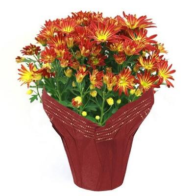 """6"""" Pelee Mum Plant - each"""