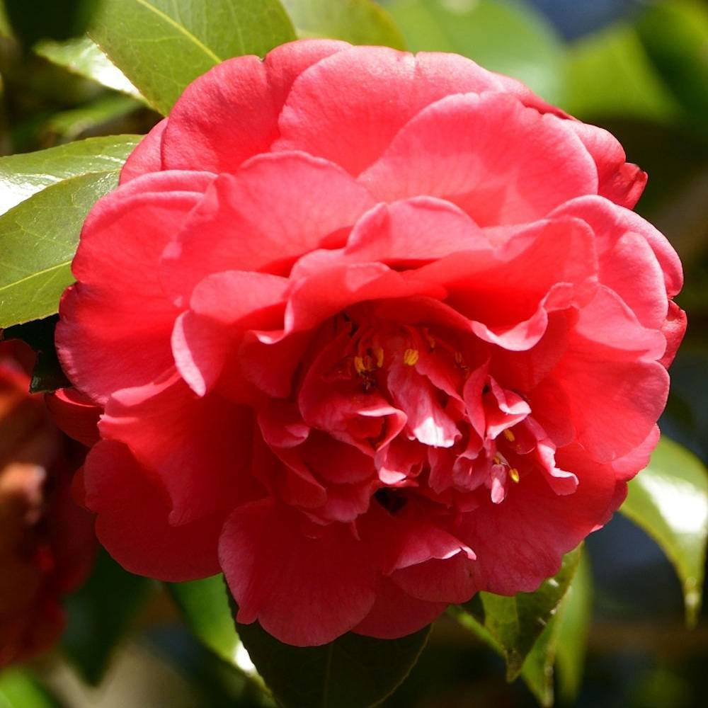 Image of 3pc 'Curly Lady' Camellia - National Plant Network