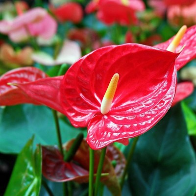 Anthurium Fire Glow - National Plant Network