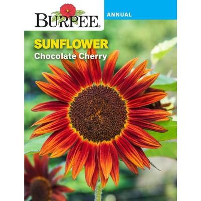 Burpee Sunflower Chocolate Cherry