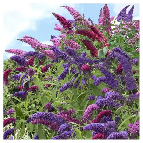 Buddleia Triple Treat Butterfly Bush Collection 3pc National