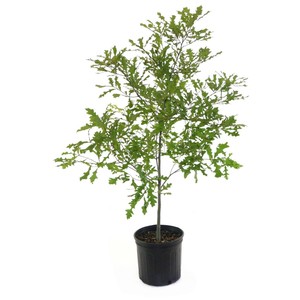 Image of 2.25gal Compton Oak Tree - National Plant Network