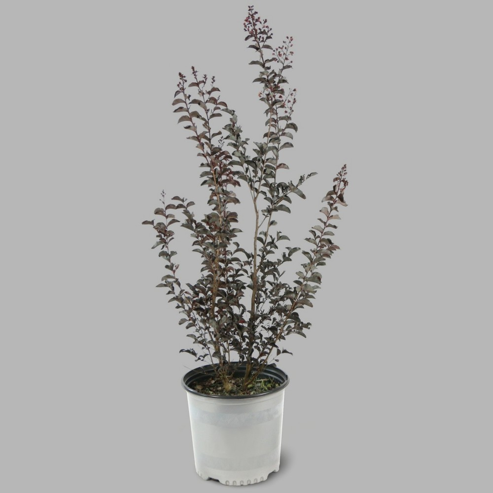 Image of Black Diamond 1pc Crape Myrtle Lavender Lace - Cottage Hill