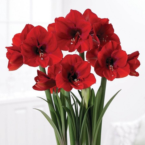 Boxed Gift Kit Amaryllis Red Lion - Van Zyverden - image 1 of 4