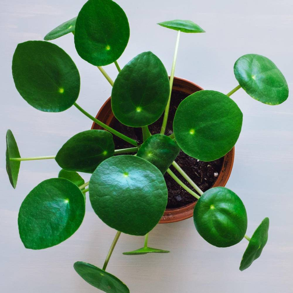 Image of 3pc Chinese Money Plant - National Plant Network