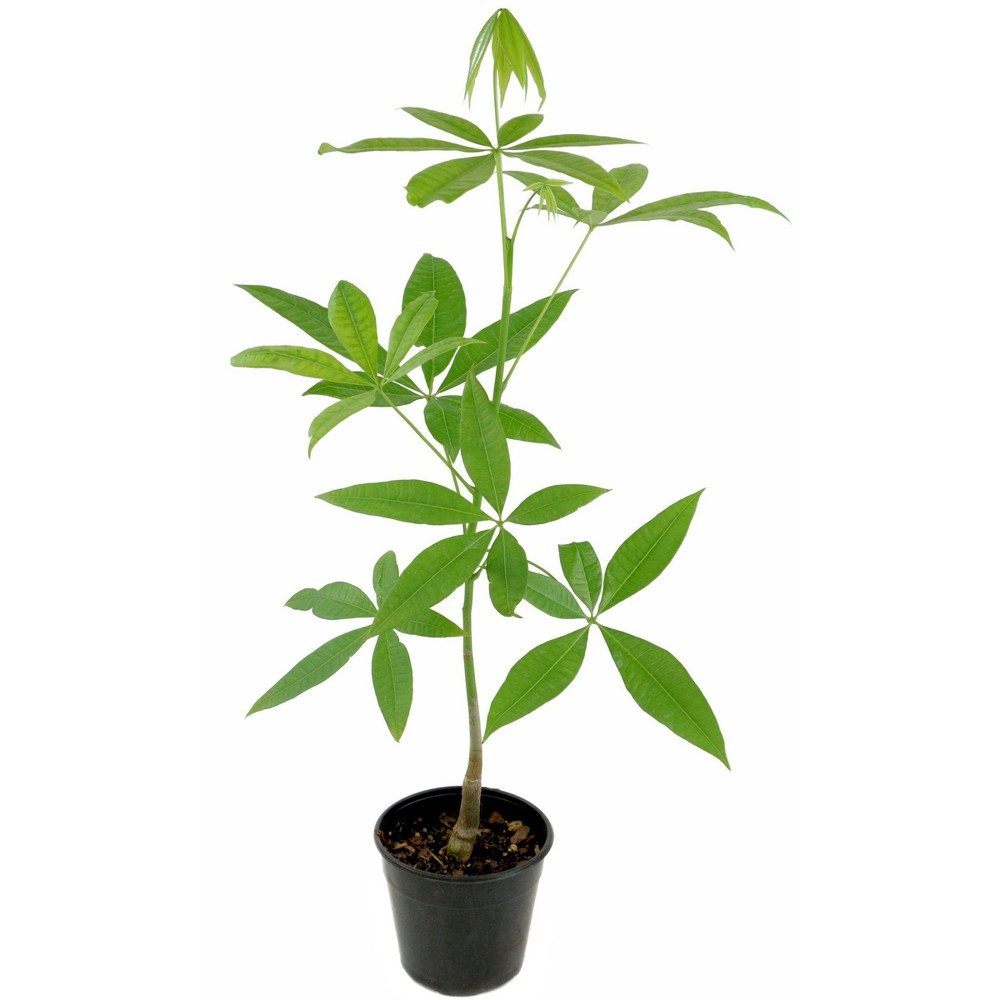 Money Tree 1pc U.S.D.A. Hardiness Zones 10-11 Cottage Hill 2.5qt, Green