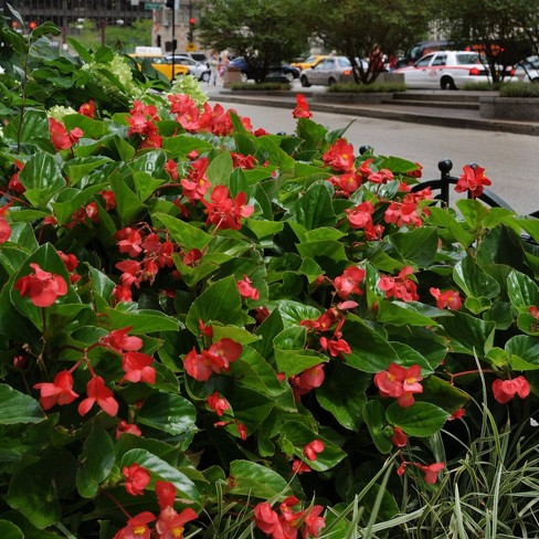 3pc Begonia Dragon Wing Red - Cottage Hill