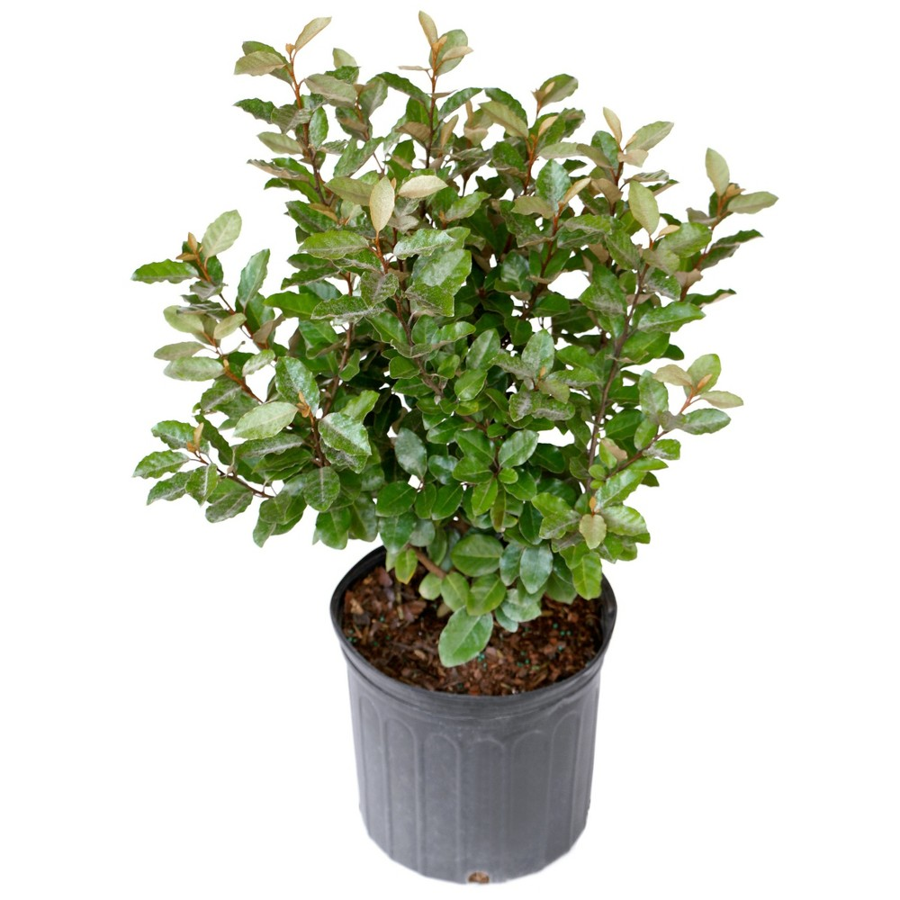 Image of Eleagnus 2.25gal U.S.D.A. Hardiness Zones 7-9 - 1pc - National Plant Network