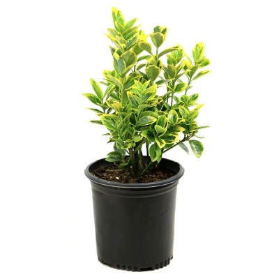 Euonymus 'Golden' 1pc - National Plant Network - U.S.D.A. Hardiness Zones 6 - 9