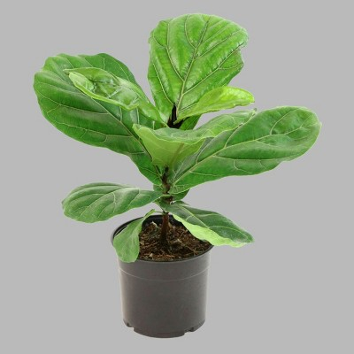 1pc Fiddle Leaf Fig   Cottage Hill by Cottage Hill