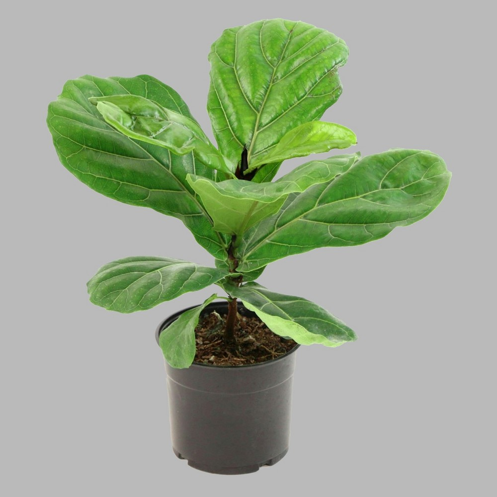 Image of 1pc Fiddle Leaf Fig - Cottage Hill