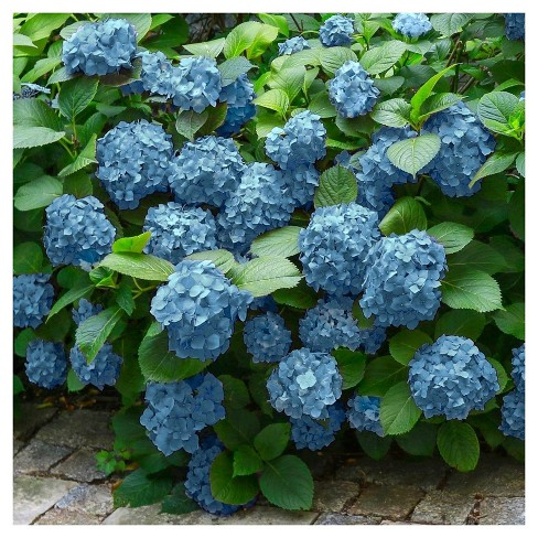 Hydrangea 'Mini Penny' 1pc - Cottage Hill U.S.D.A Hardiness Zone 5-9 - image 1 of 3