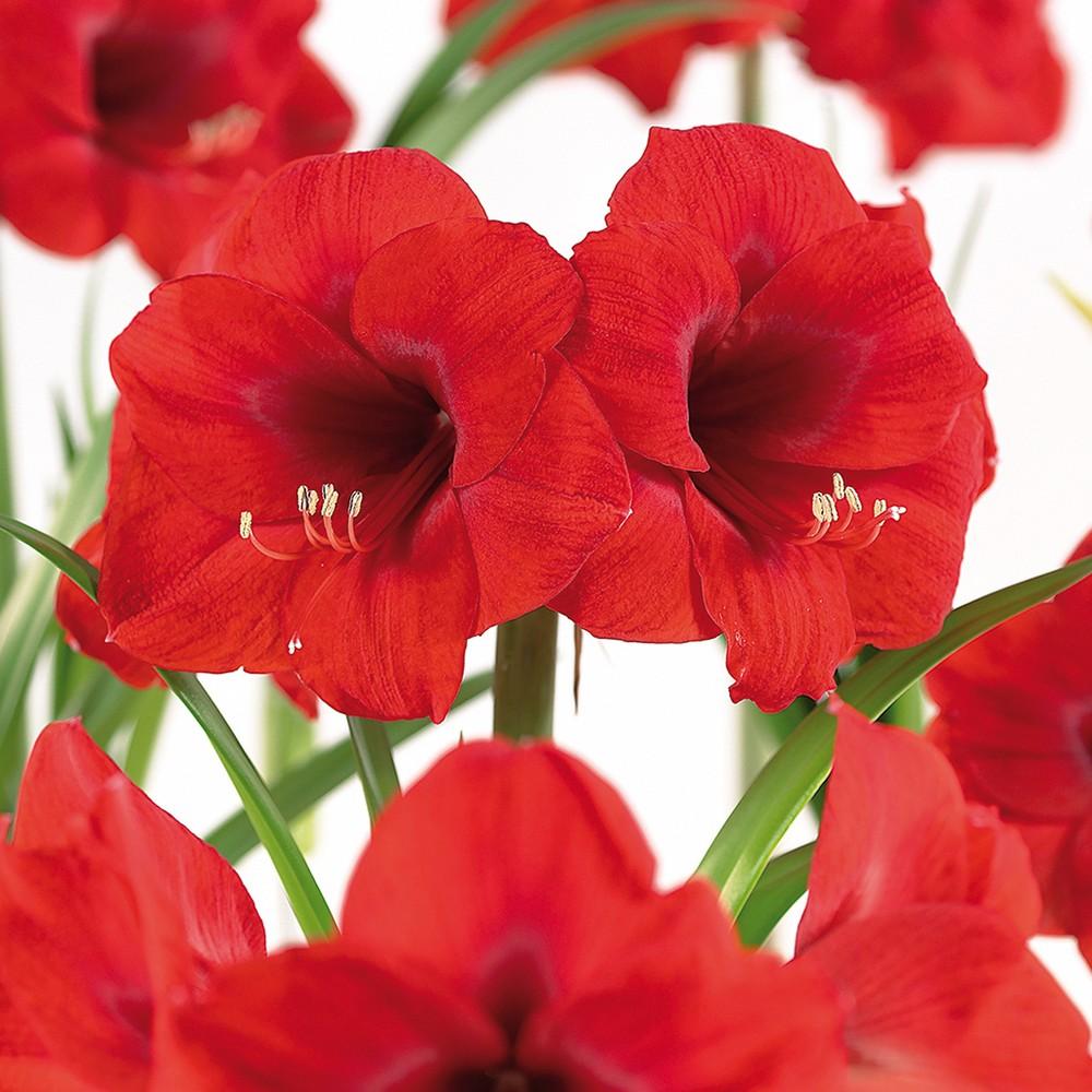 Amaryllis & Paperwhite Indoor Garden Set of 13 bulbs - Van Zyverden