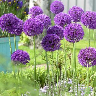 Allium Purple Sensation - Set of 12 Bulbs - Van Zyverden