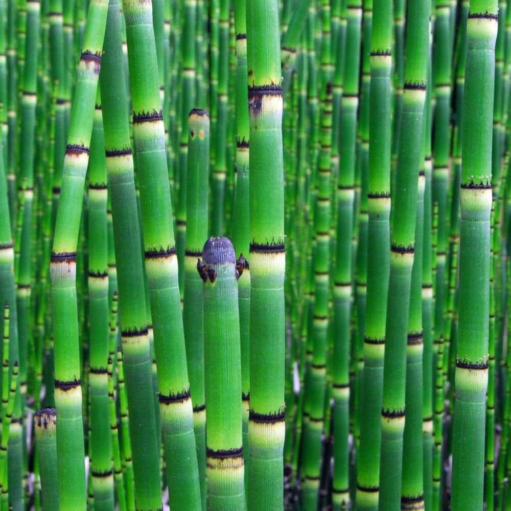 Image of Native Horsetail Reed - National Plant Network