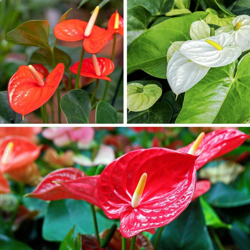 Image of 3pc Anthurium Collection - National Plant Network