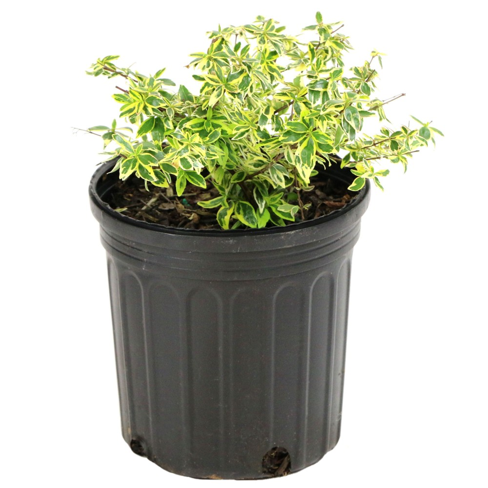 Image of Abelia 'Hopley's' 1pc U.S.D.A. Hardiness Zones 6-10 Cottage Hill 2.5qt, Size: 2.5 Quart