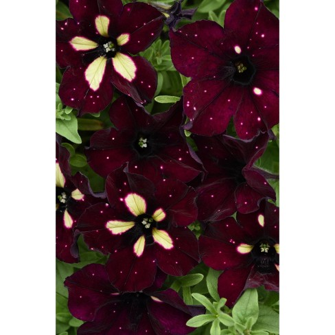 3pc BurgundySky Petunia Plant with Burgundy/White Blooms - National Plant Network - image 1 of 2