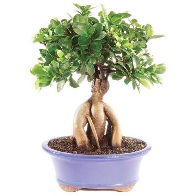 Medium Gensing Grafted Ficus Indoor Live Houseplant - Brussel's Bonsai