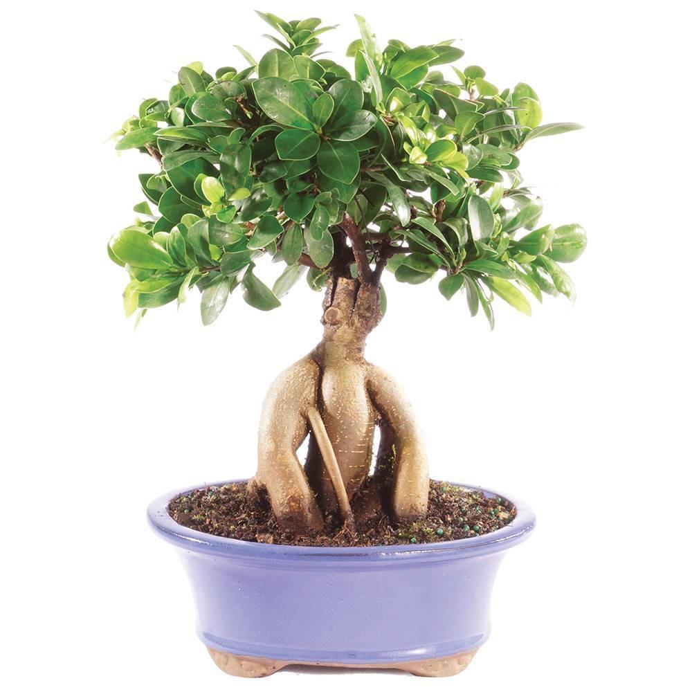 Image of Medium Gensing Grafted Ficus Indoor Live Houseplant - Brussel's Bonsai