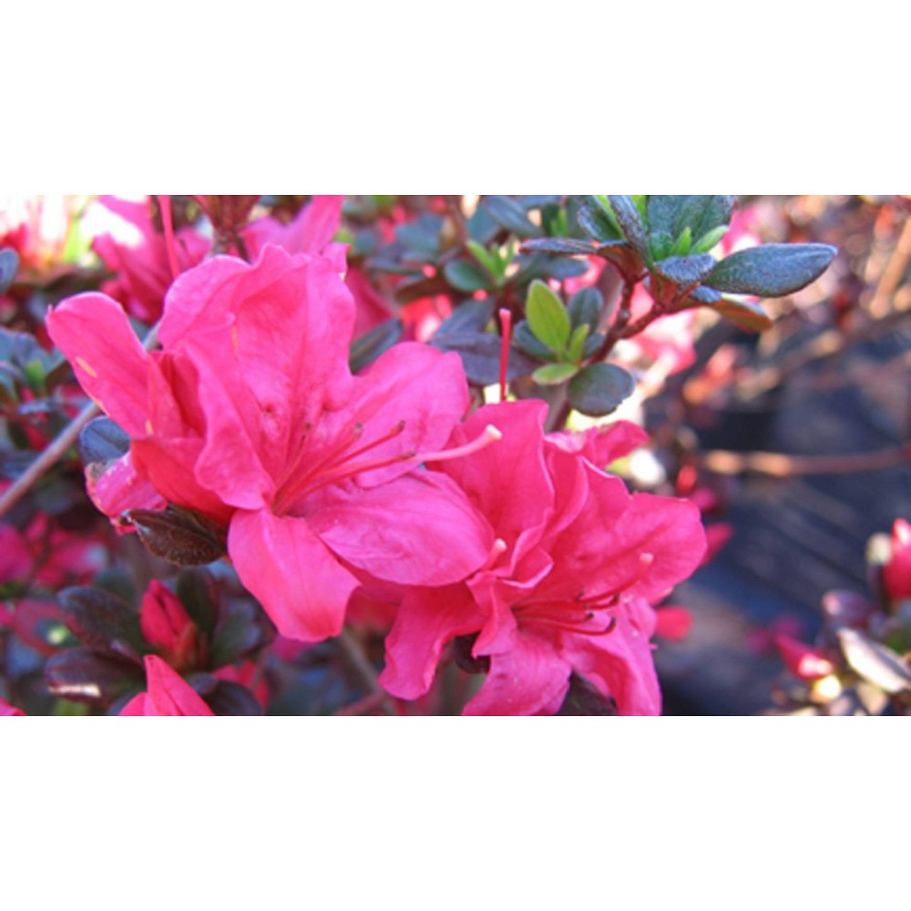 2 25gal Hinode Giri Azalea Plant With Pink Blooms National Plant Network